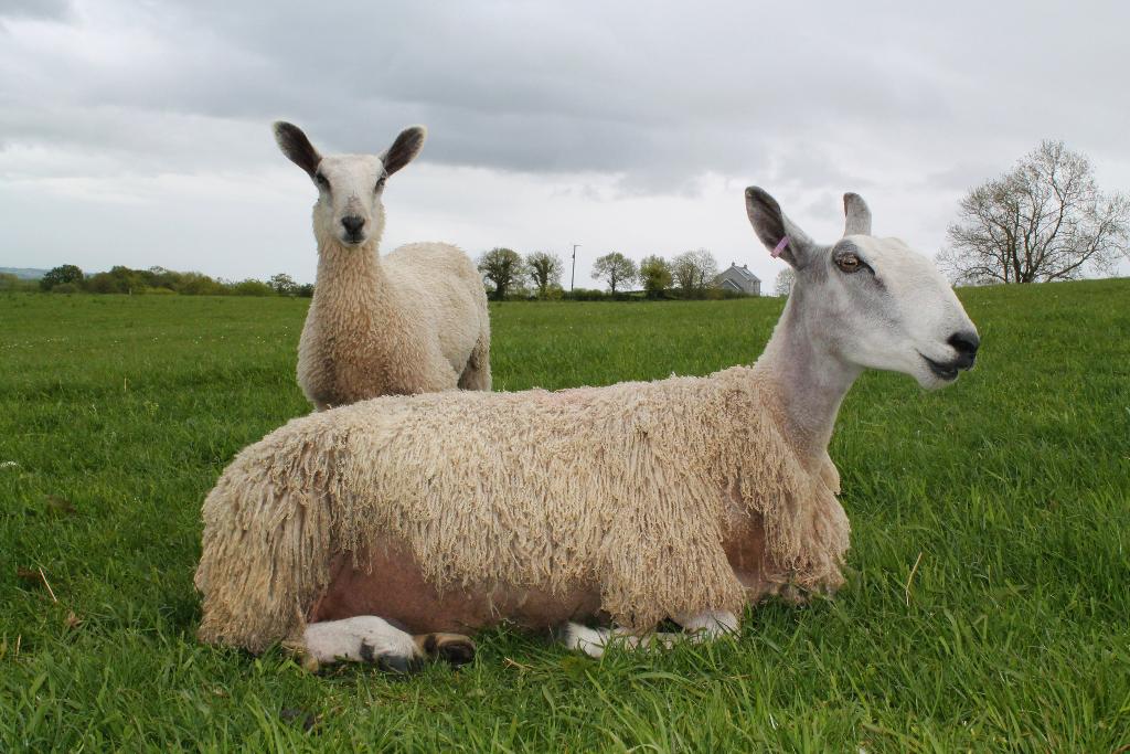 Blue-faced Leicester sheep