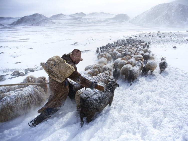 Cashmere goats in the snow.