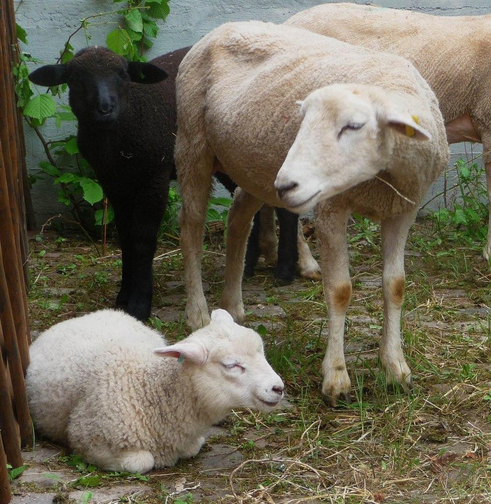 Two white merino sheep and one black texel sheep.